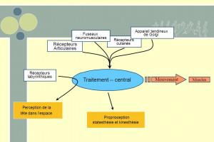 Traitement+--+central+Mouvement+Récepteurs+Articulaires+Muscles